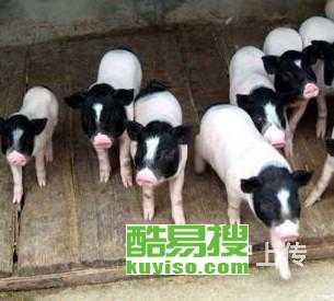 望都香猪多少钱香猪养殖场
